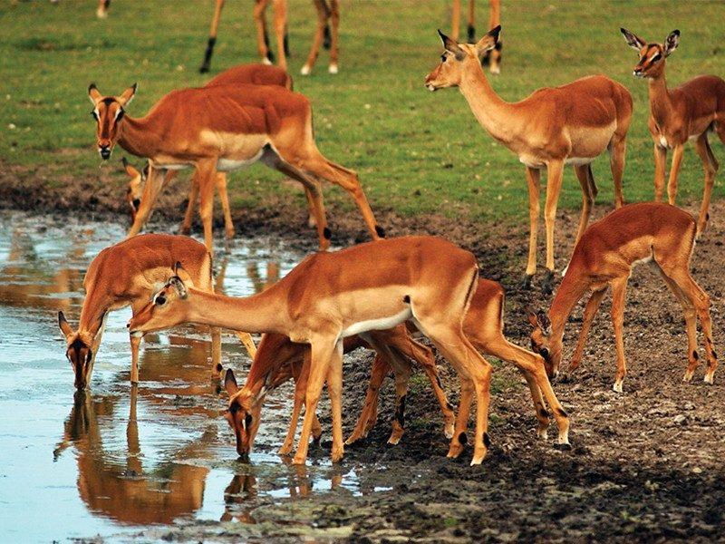 amakhala game reserve safari impala