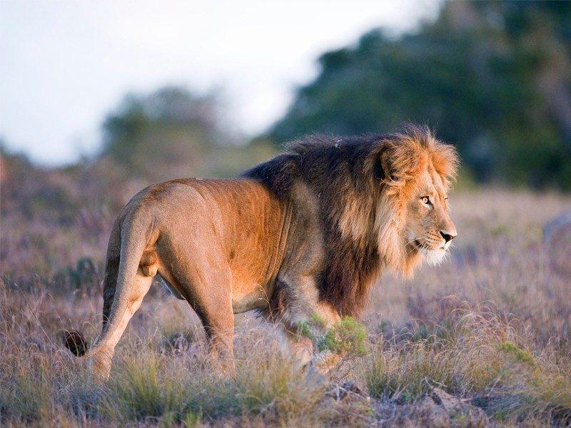 amakhala game reserve safari lion