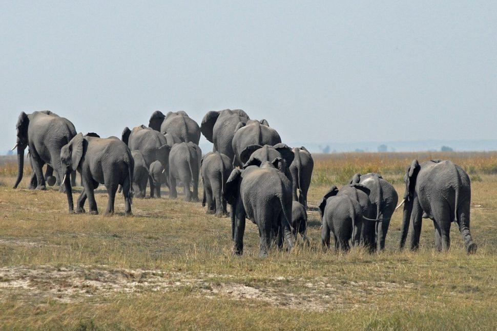 botswana elepahnts safari
