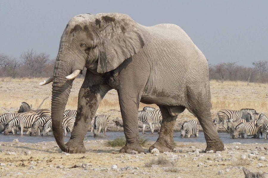 elephant namibia etosha