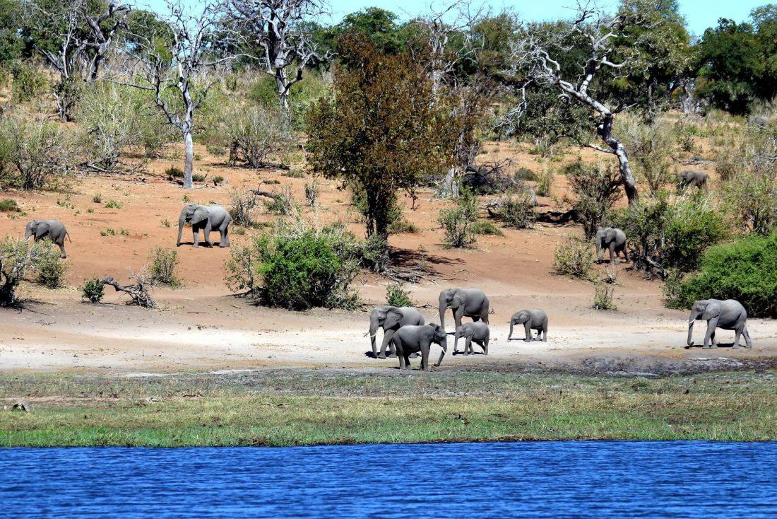 elephants chobe