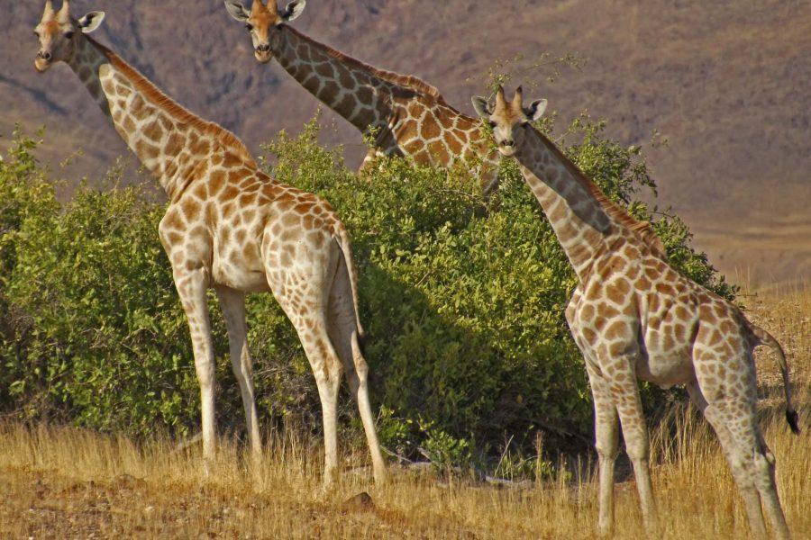giraffes namibia