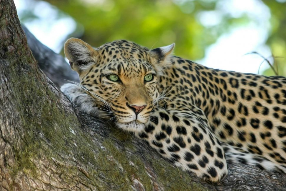 leopard botswana safari okavango