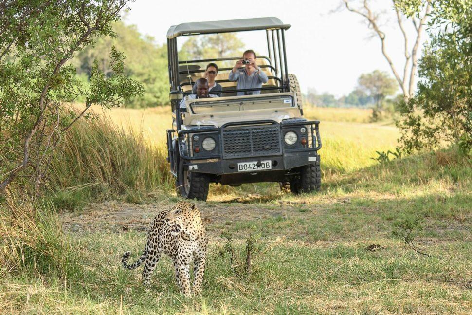leopard botswana safari