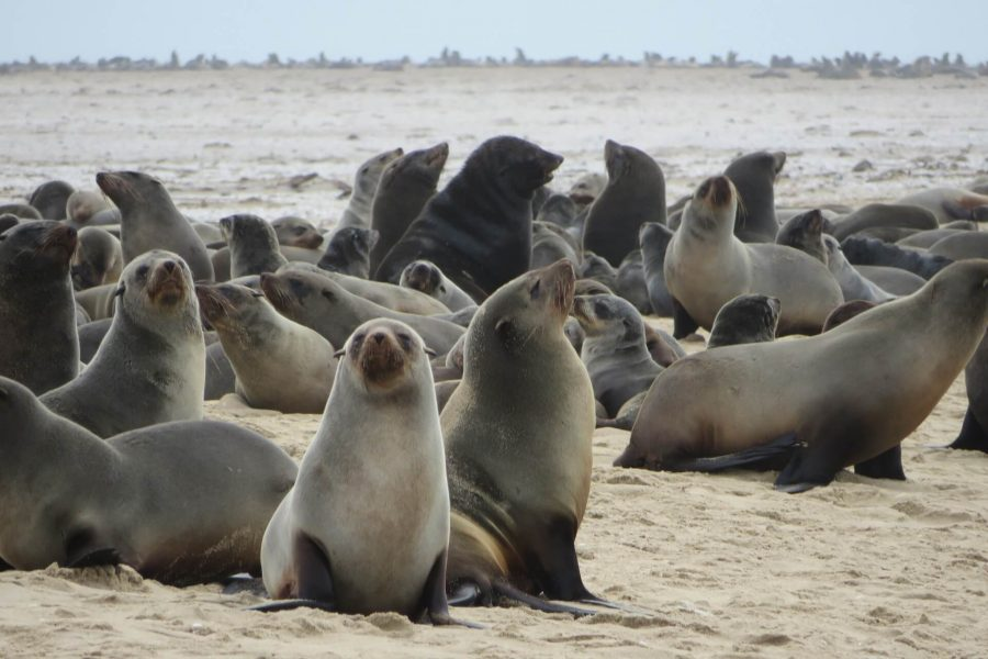 sea lions namibia