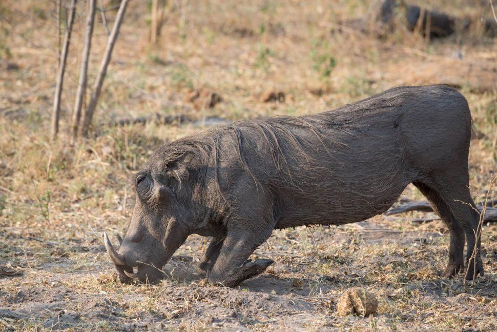 warthog botswana