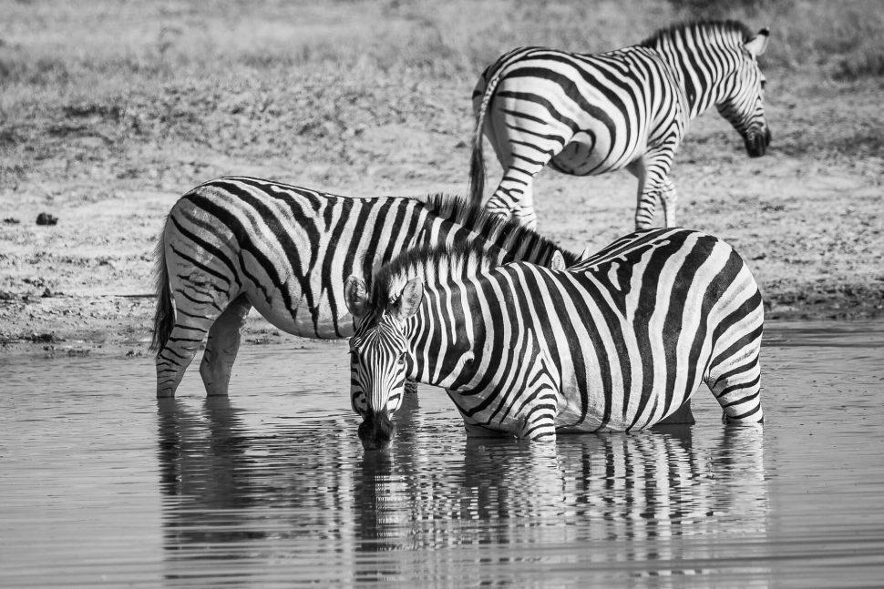 zebra chobe botswana
